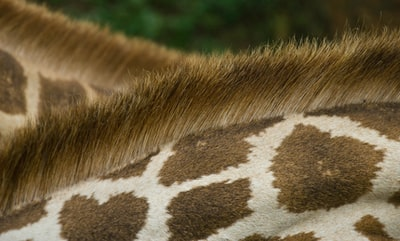 closeup photo of giraffe's back kenya zoom background
