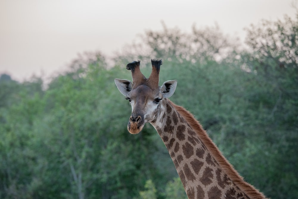giraffe surrounded by trees