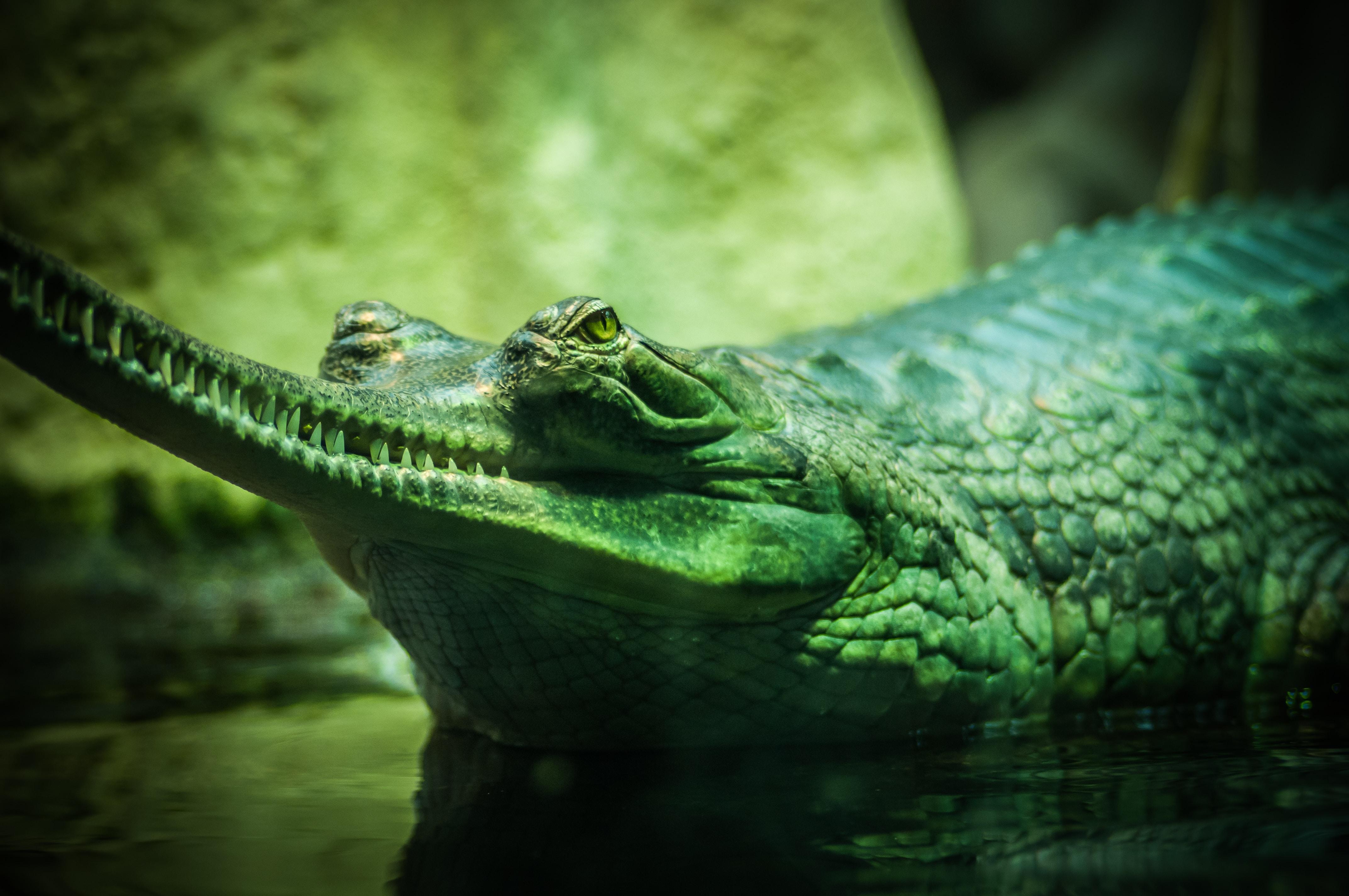 Green crocodile beside a giant rock