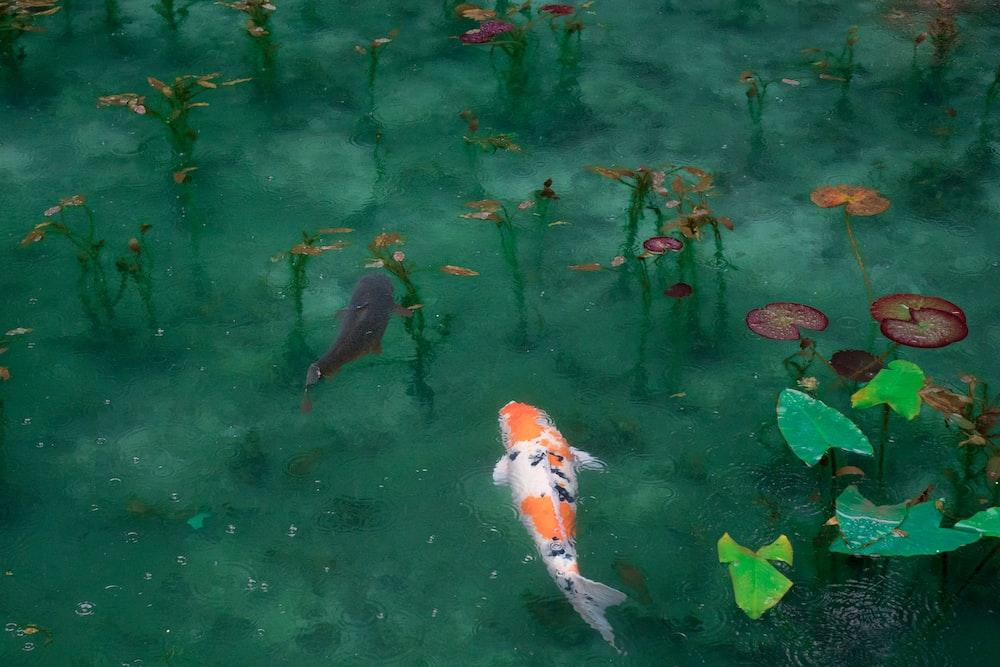 photo of two black, white, and orange koi fish