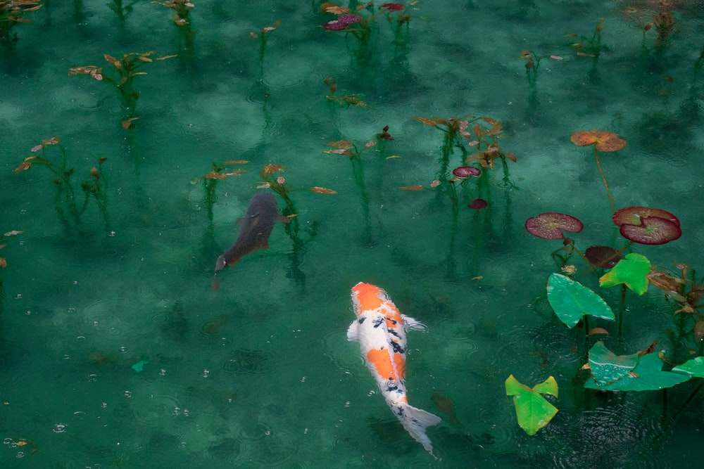 photo of two black, white, and orange koi fish