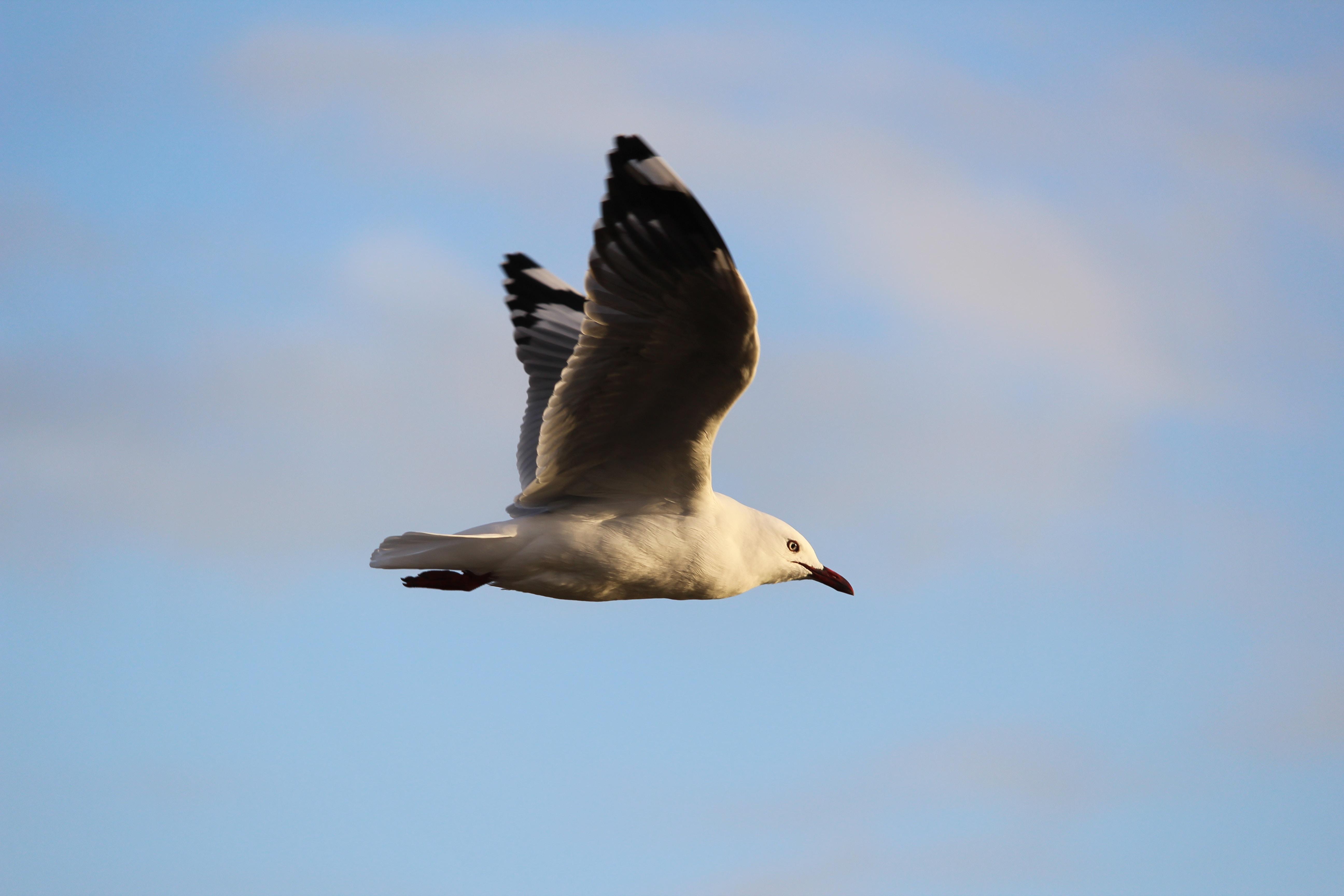 Seagull in mid-flight at Piha Beach