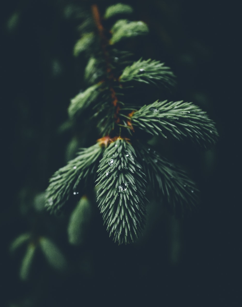 shallow focus photography of green spruce tree