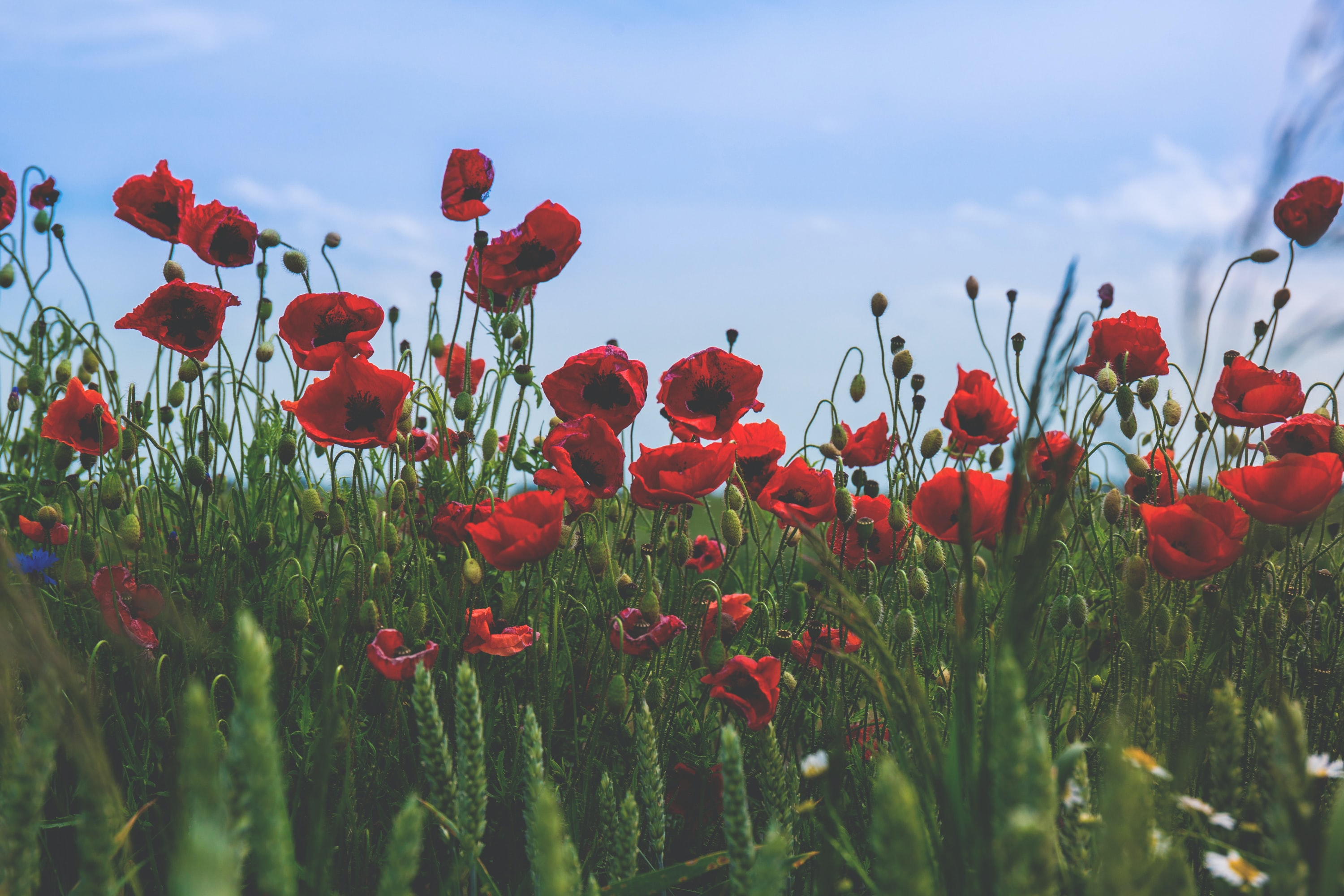 close-up photography of red poppy flowers under clear blue sky