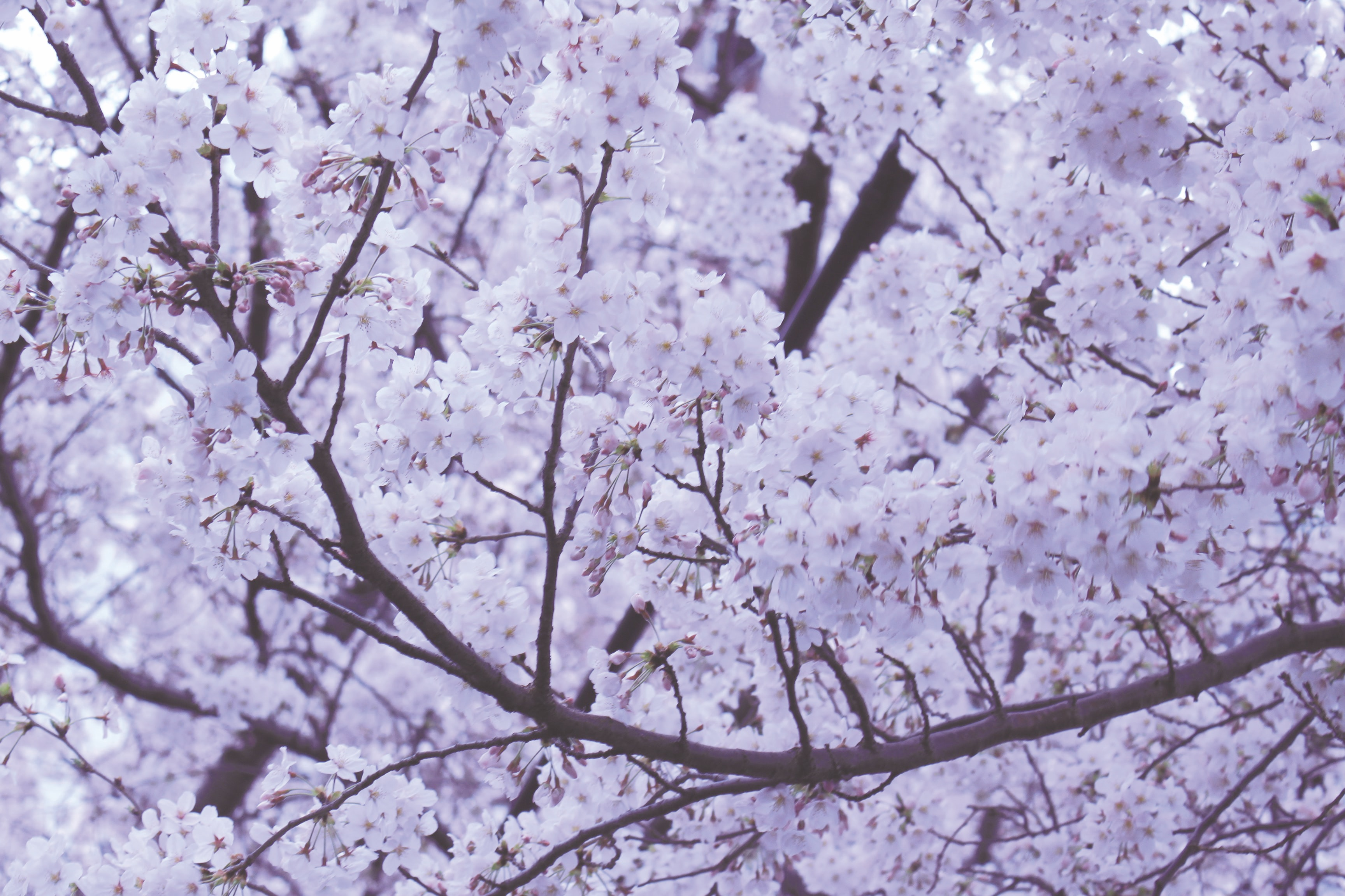 Thick pink white cherry blossom on tree branches in Spring in Japan