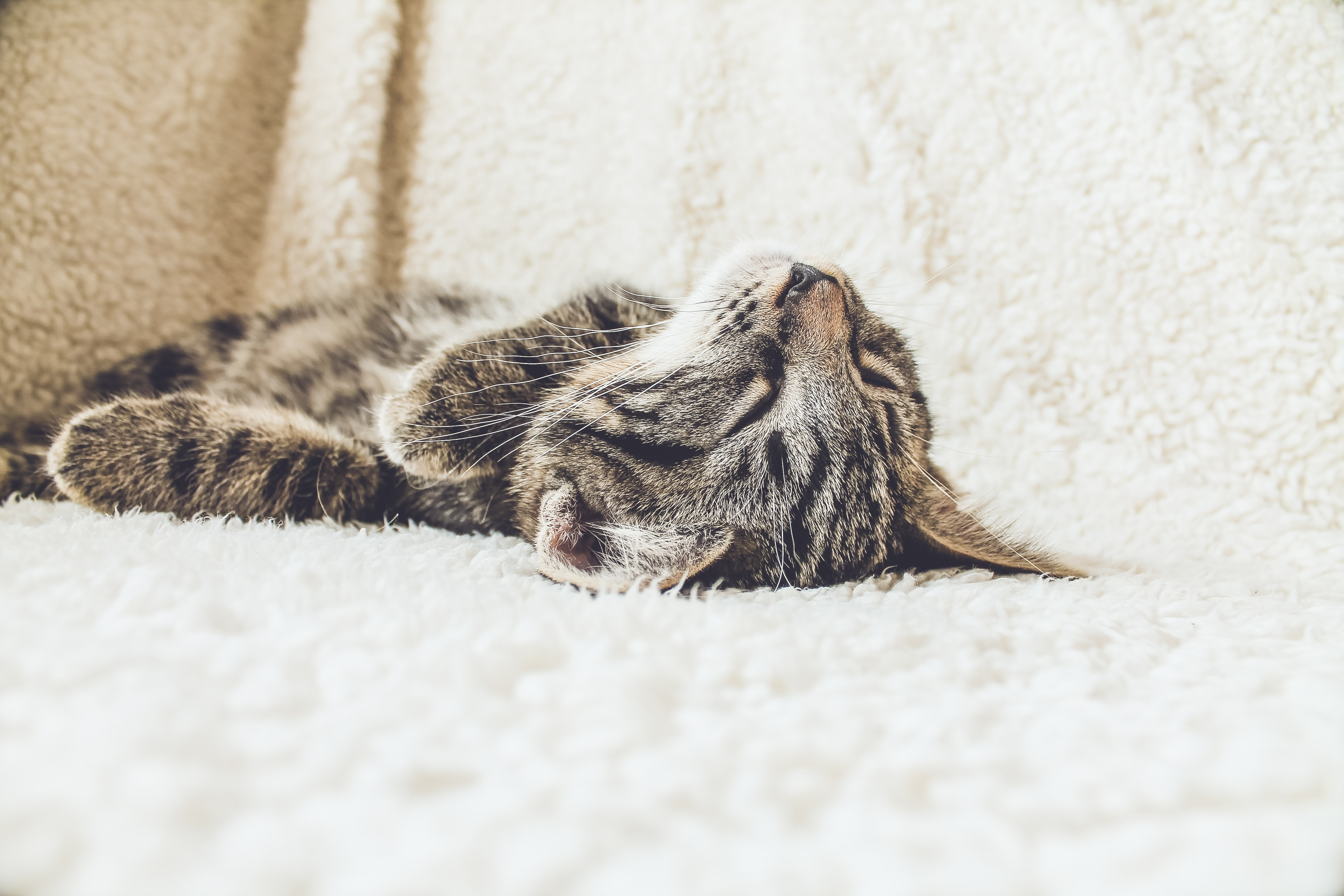 Close-up of a tabby cat lying on its back on a white blanket