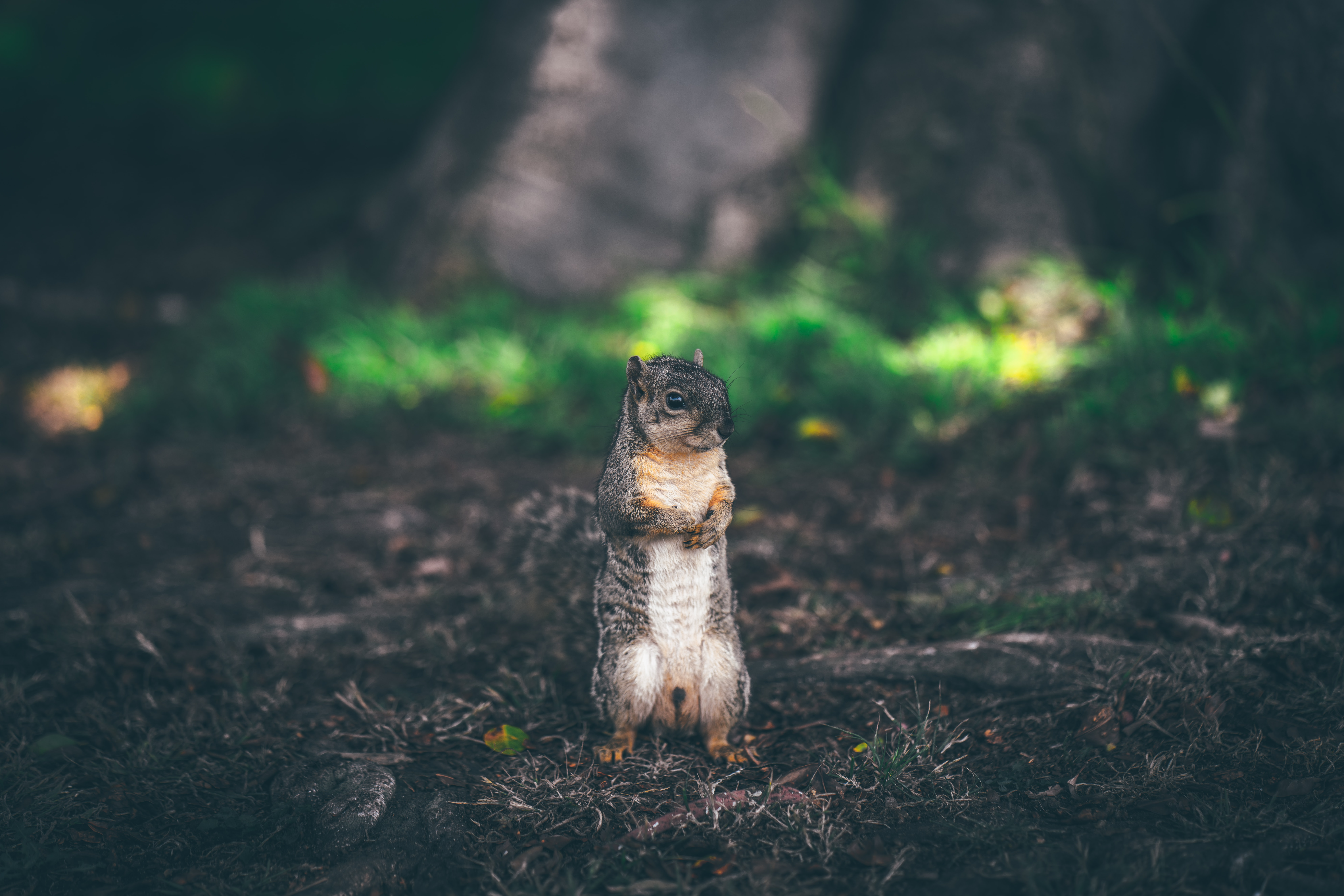 brown squirrel standing on brown soil
