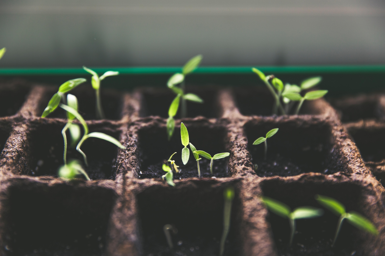 Várias plantinhas germinando