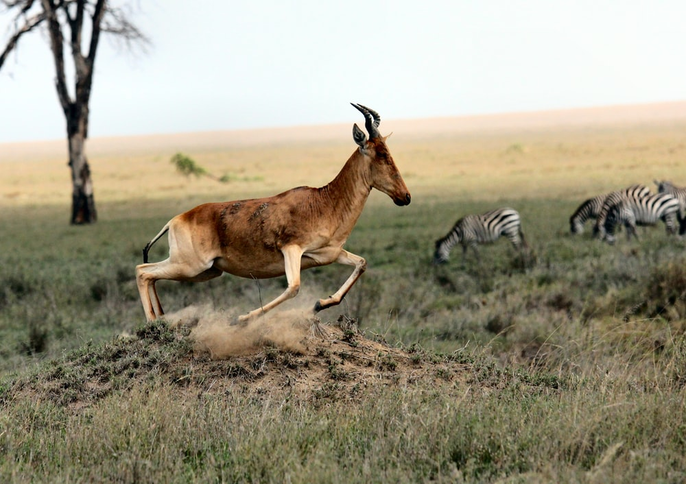 brown antelope and zebra on field at daytime