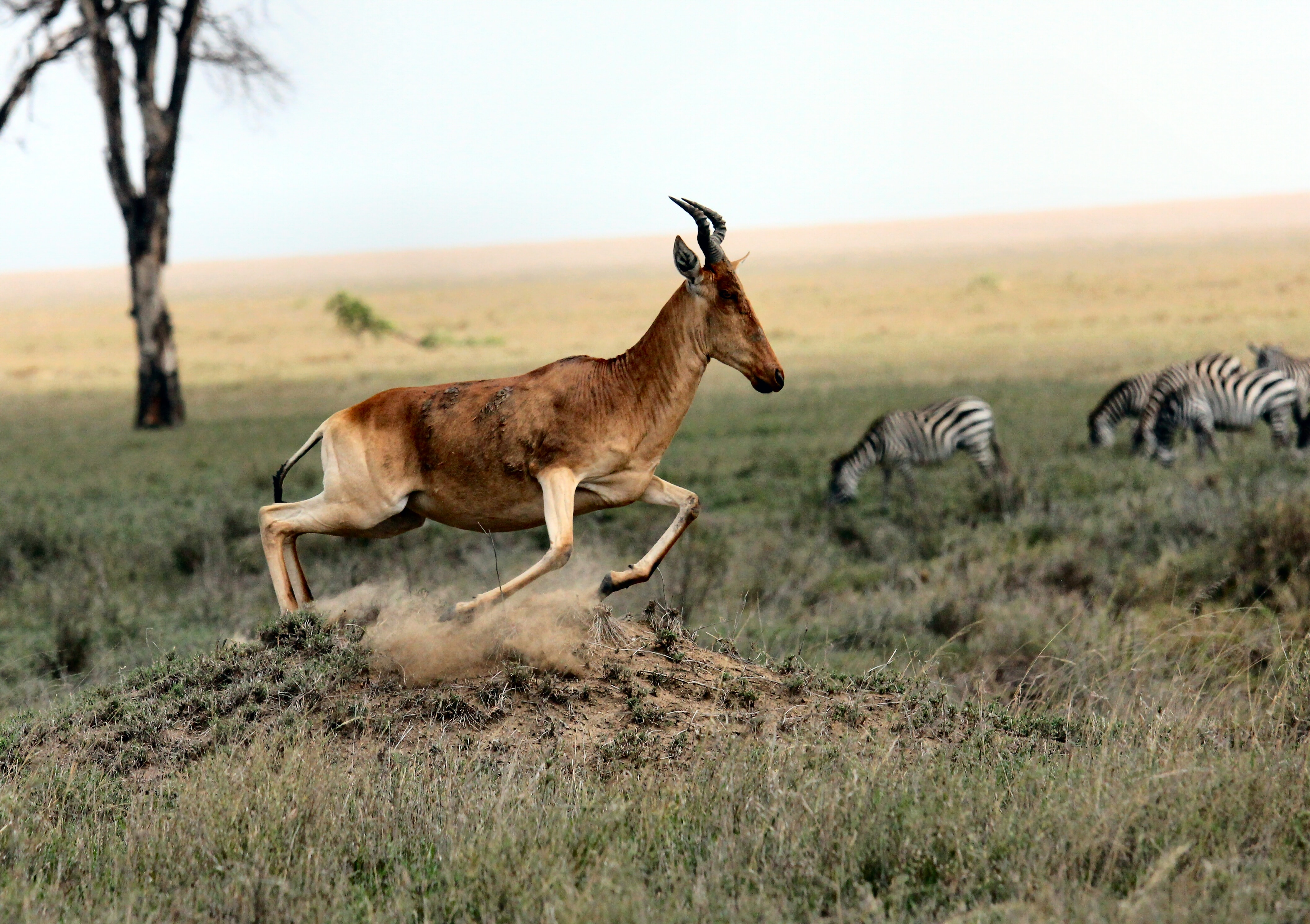 A running antelope near a grazing herd of zebras in a savannah