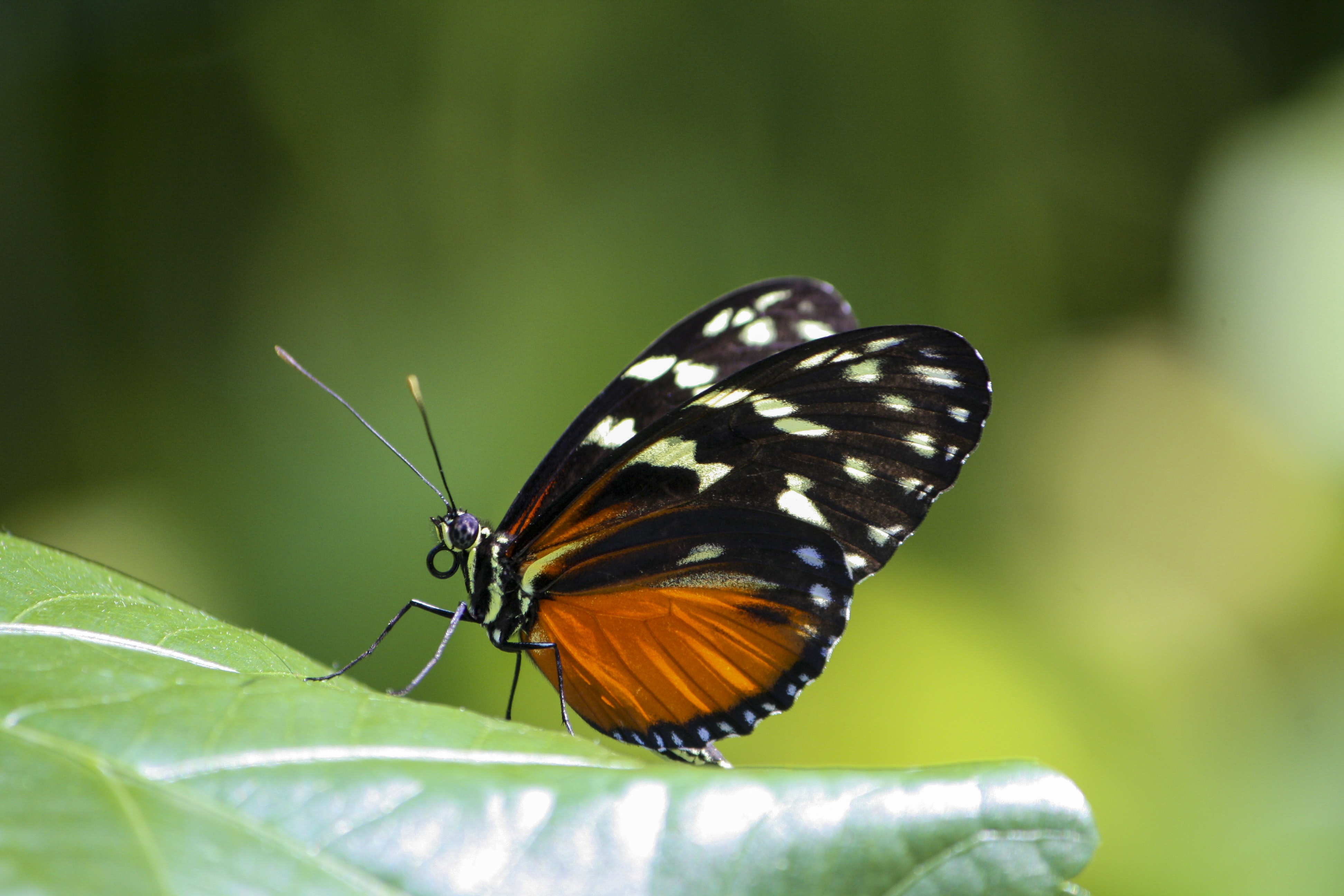 An orange and black butterfly on a leaf.