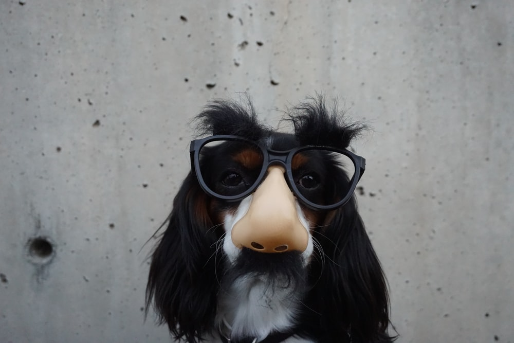 A dog wearing a disguise mask with glasses, a large nose and moustache