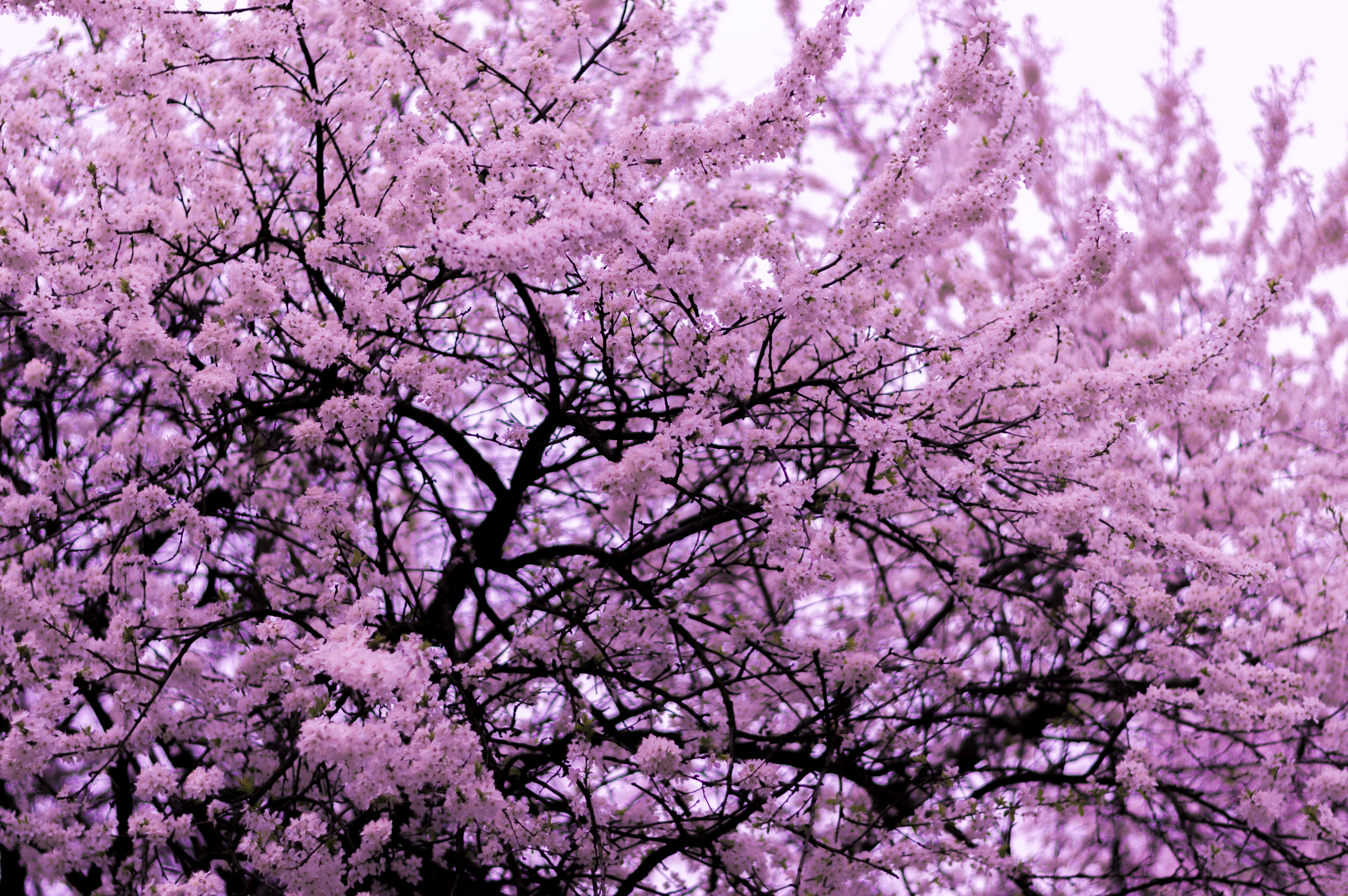 Tree with thick pink blossom blooming in Spring in Bucharest
