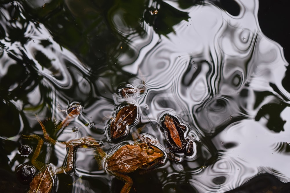 three brown frogs swim on body of water
