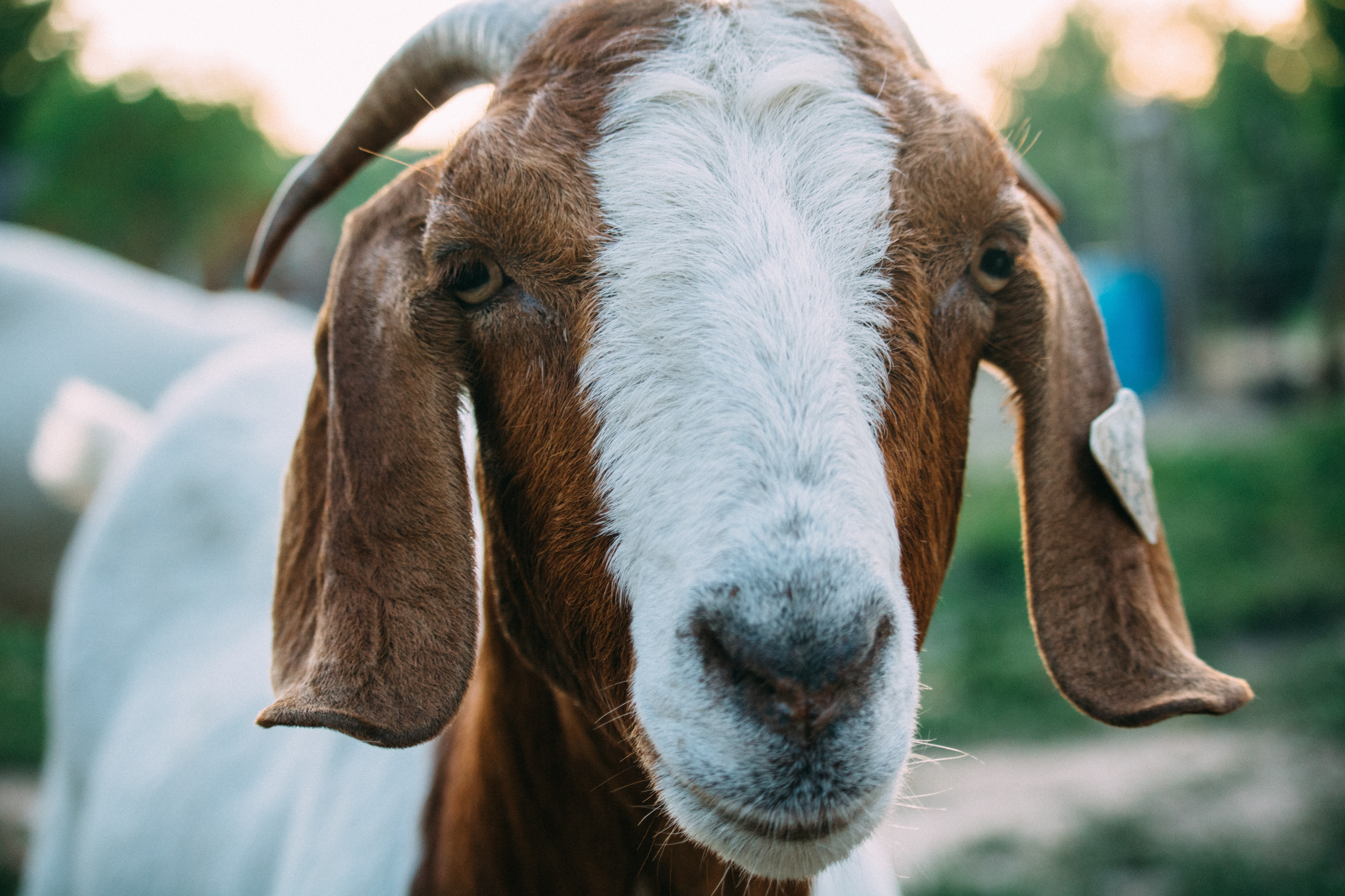close up photo of white and brown goat