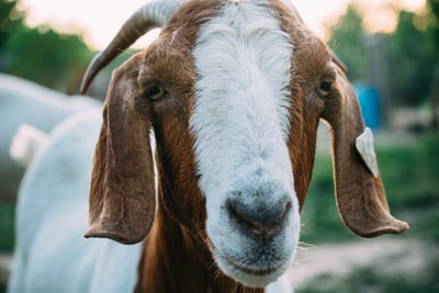 close up photo of white and brown goat michigan zoom background