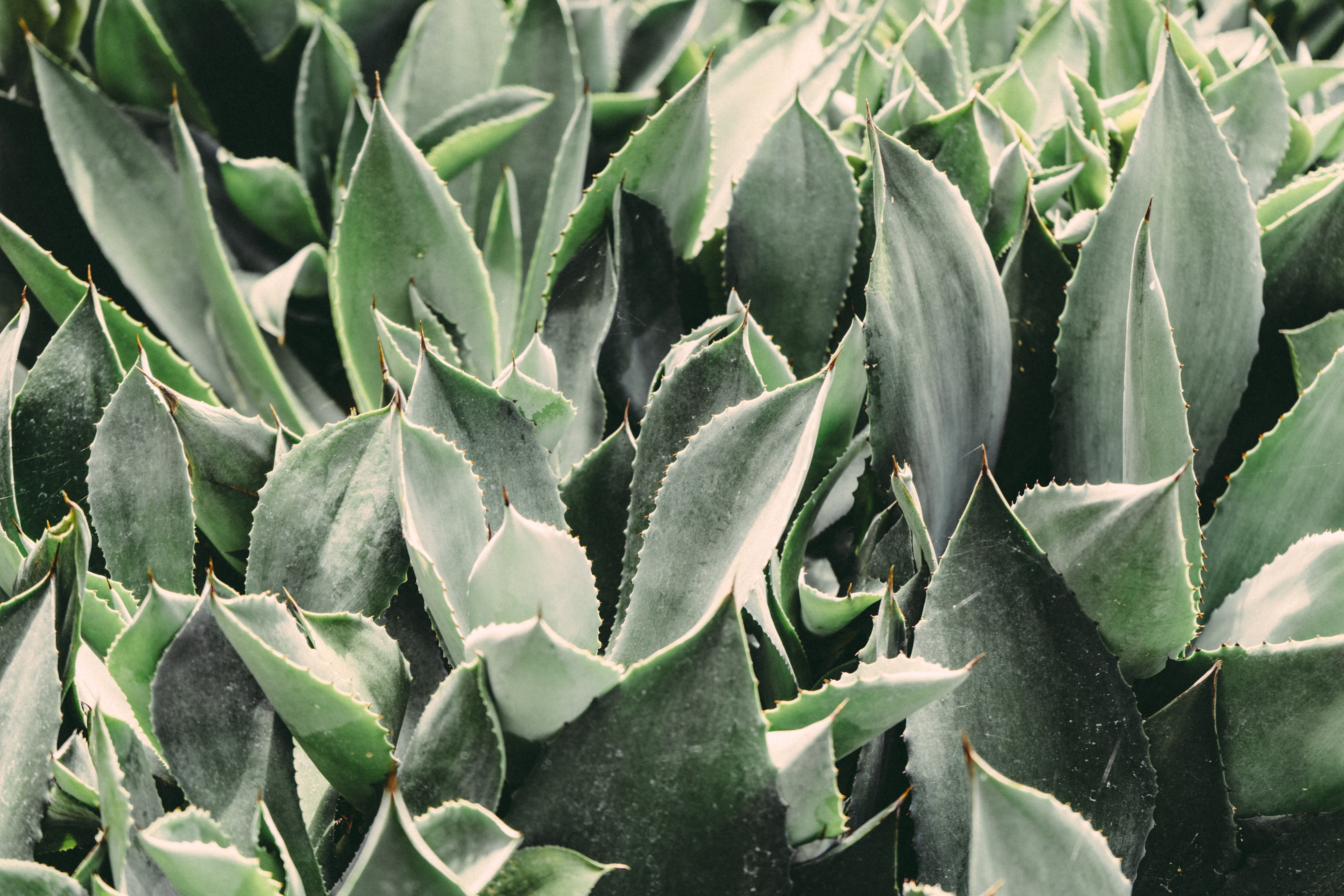Leaves of spiky green succulent plants cover the garden