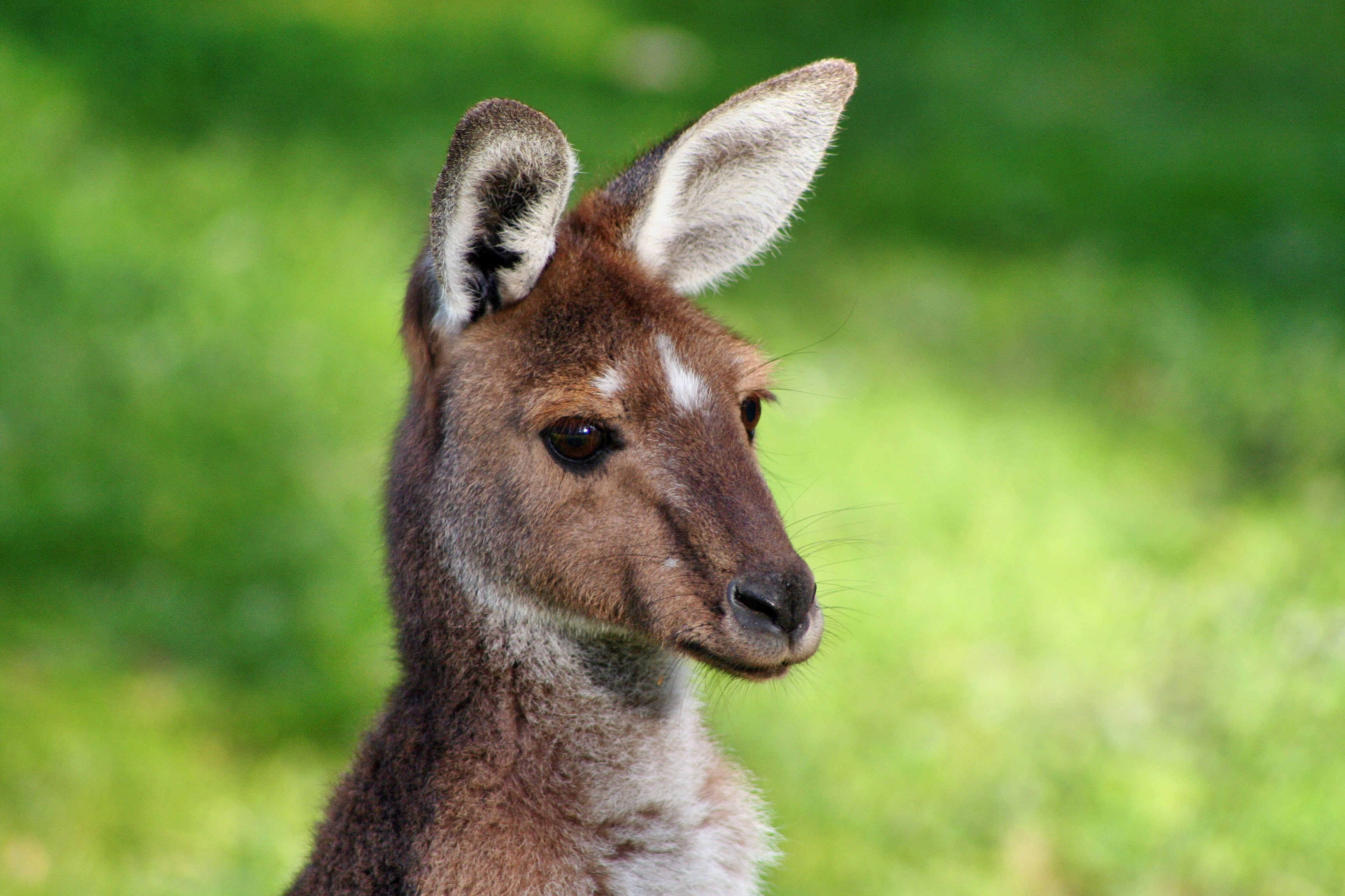 Close-up of a kangaroo's head