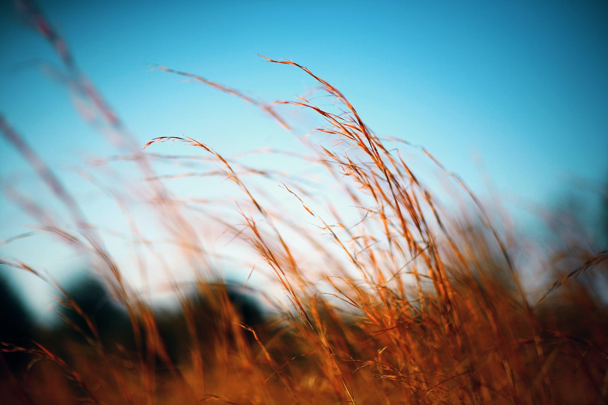 Fiery grass against a blue sky
