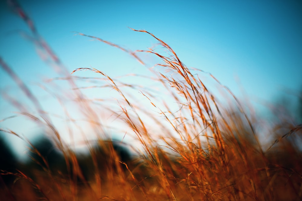 selective focus photography of brown grasses against blue sky