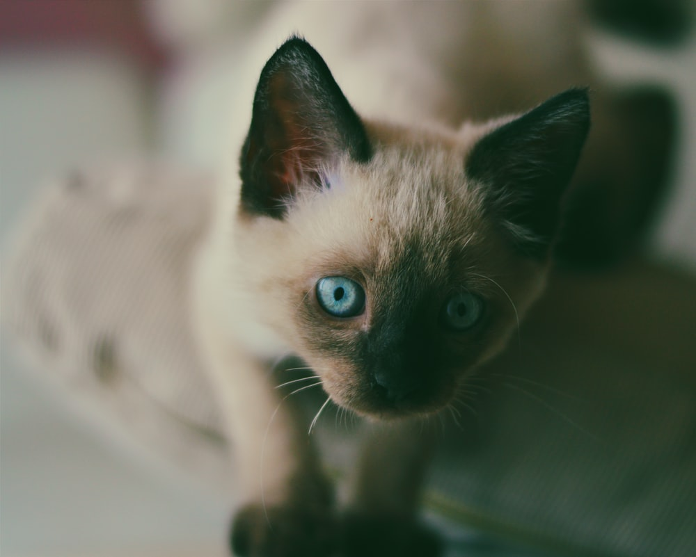 shallow focus photography of Siamese cat