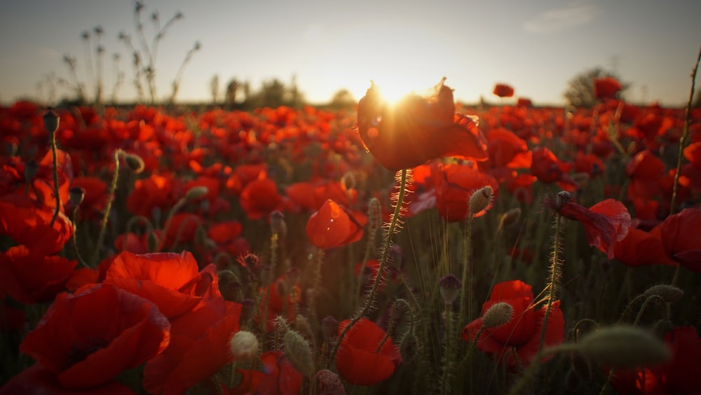 field of red flowers during golden hour