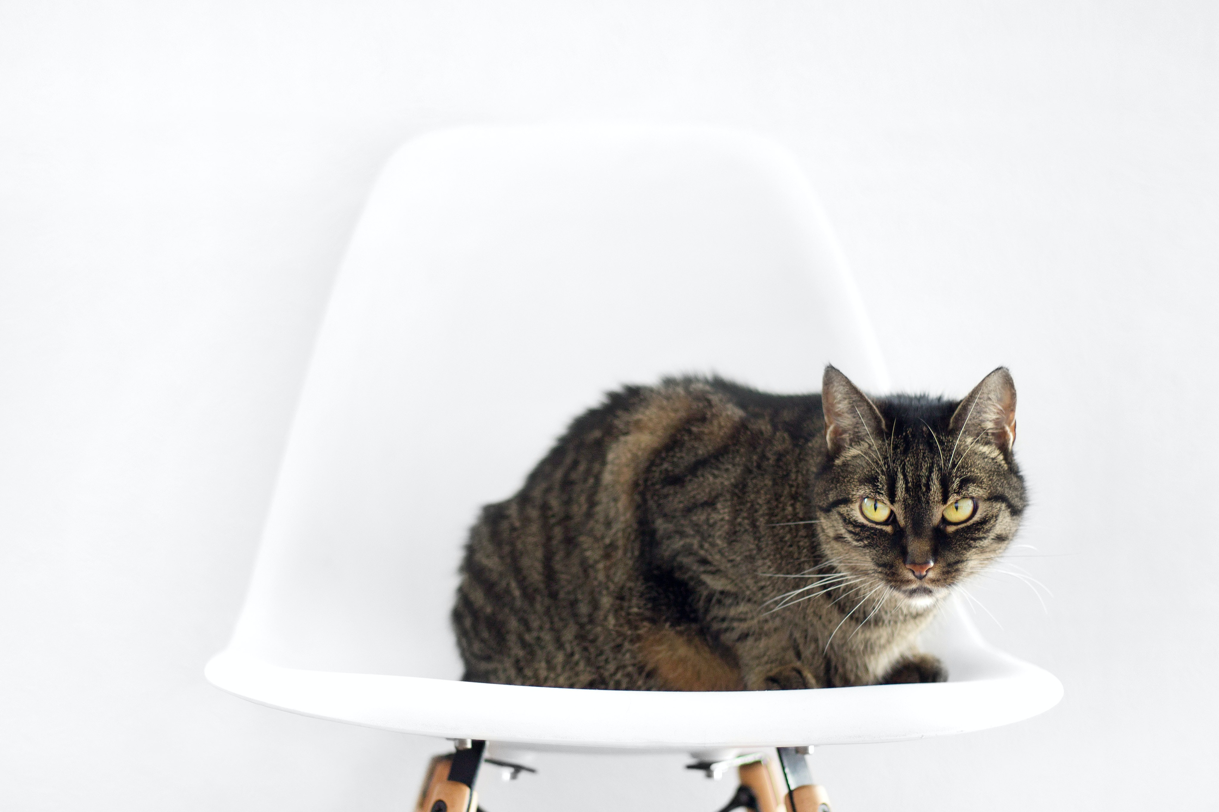 A tabby cat sitting on a white chair