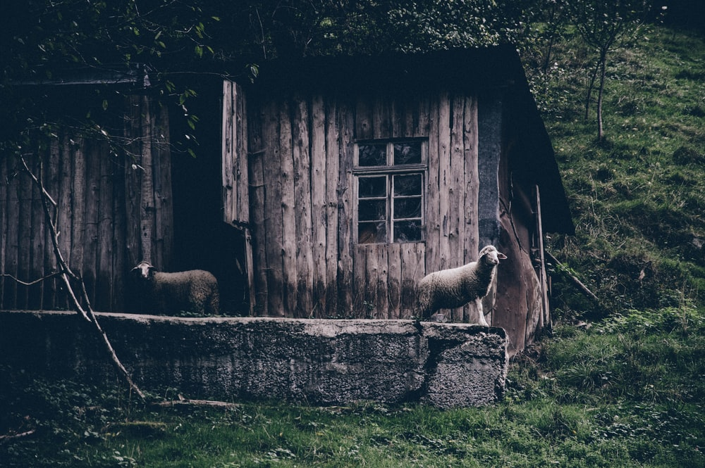 two sheep on brown wooden parquet house