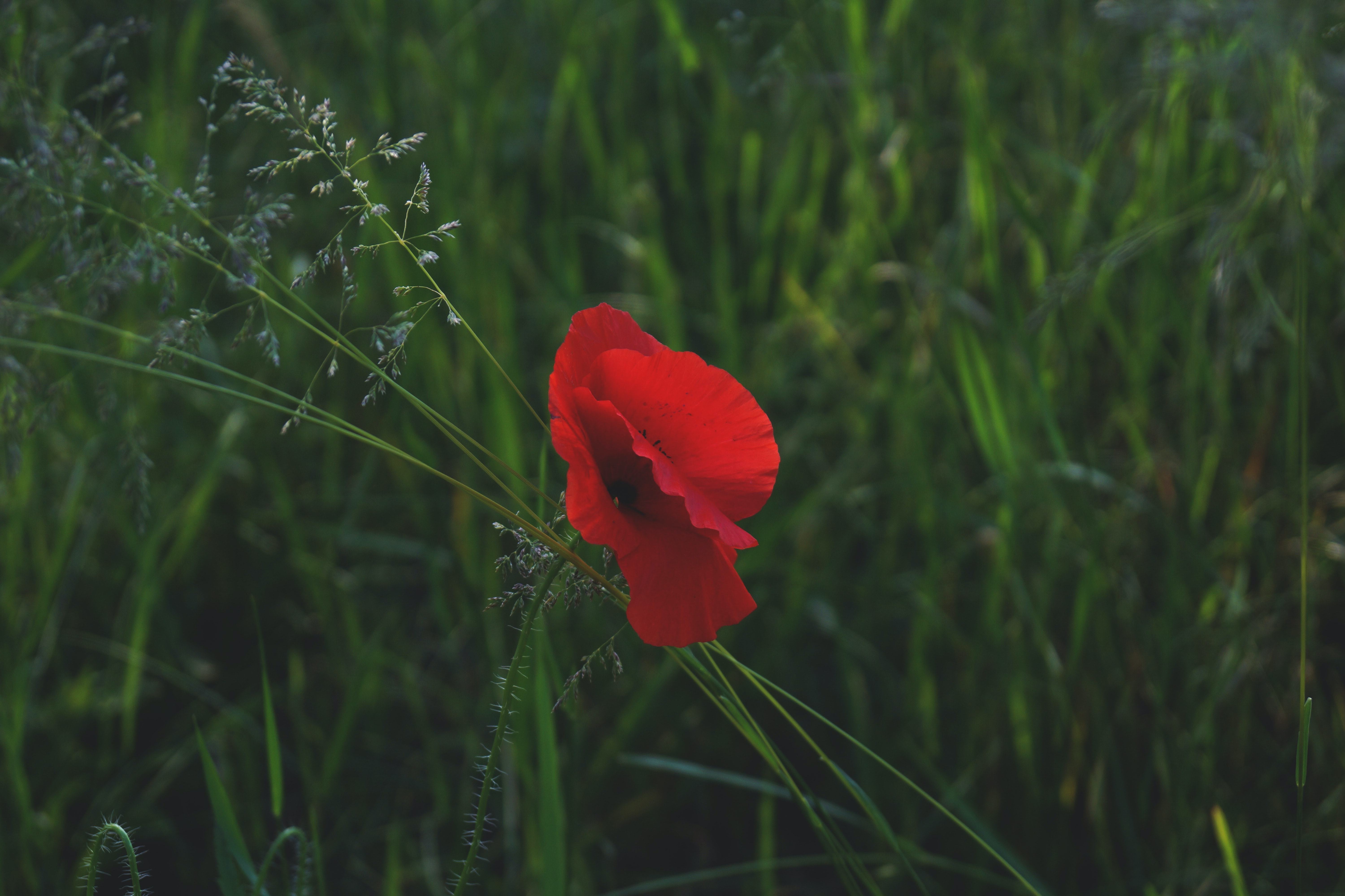 A lone red poppy in green grass