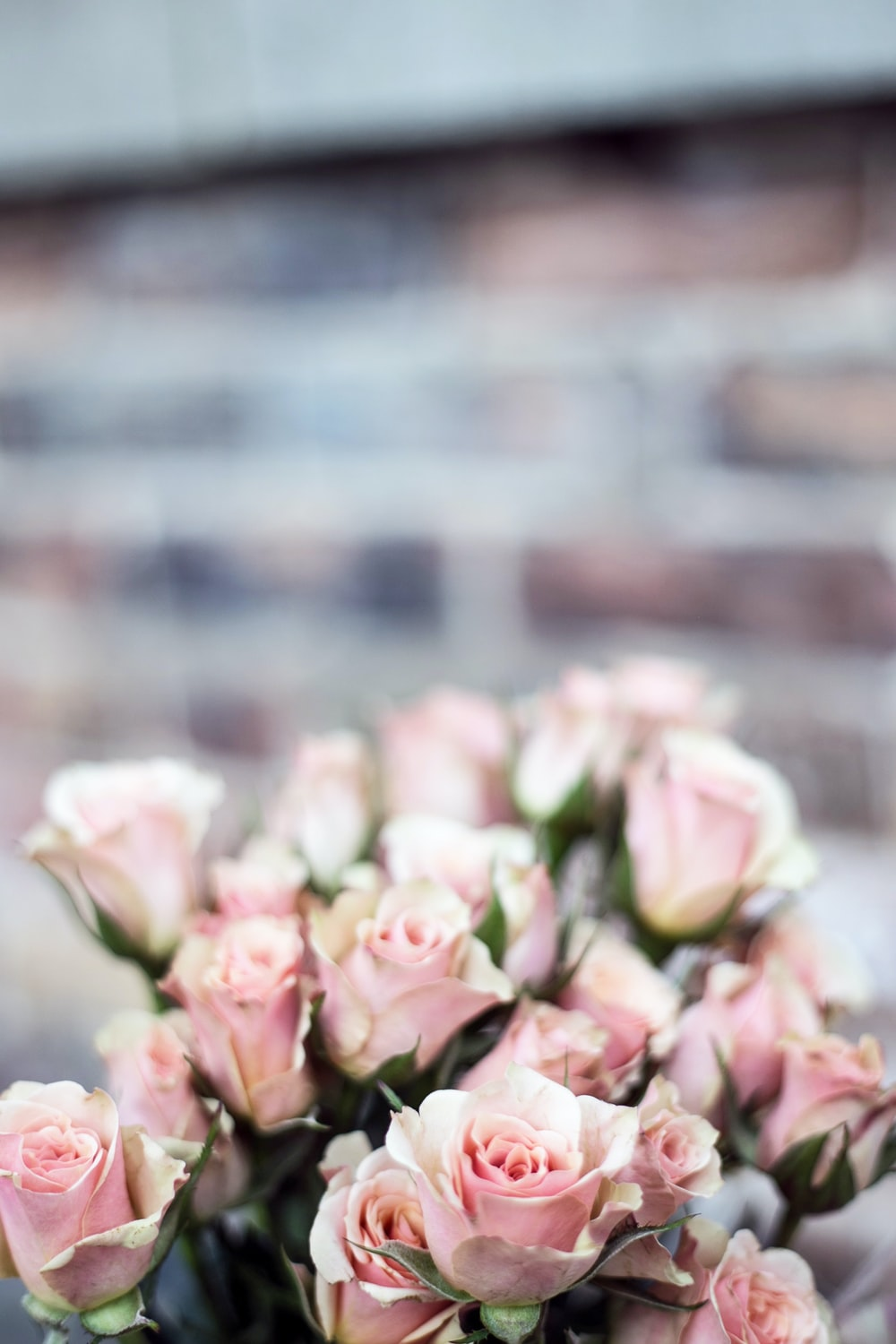 selective focus photography of pink rose flowers