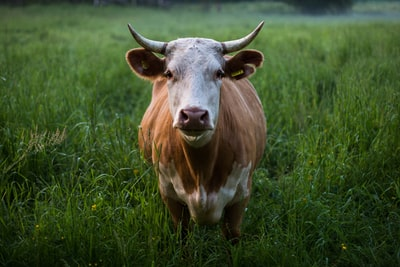 brown and white cattle standing at open field cow zoom background