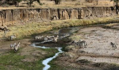 zebra near mountains tanzania teams background