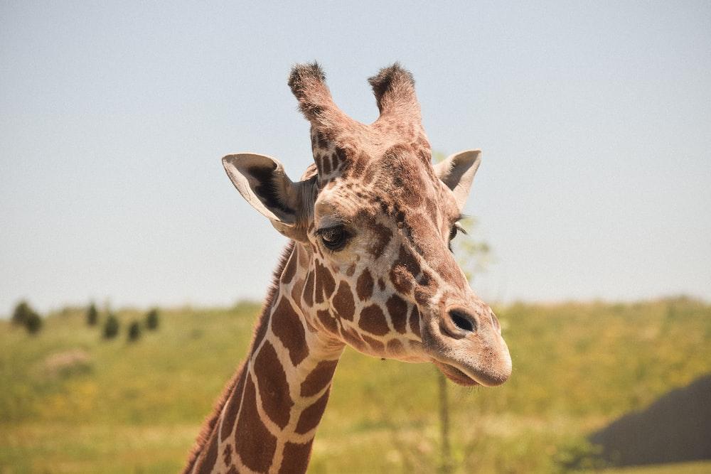 selective focus photography of giraffe