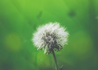 white dandelion closeup photography
