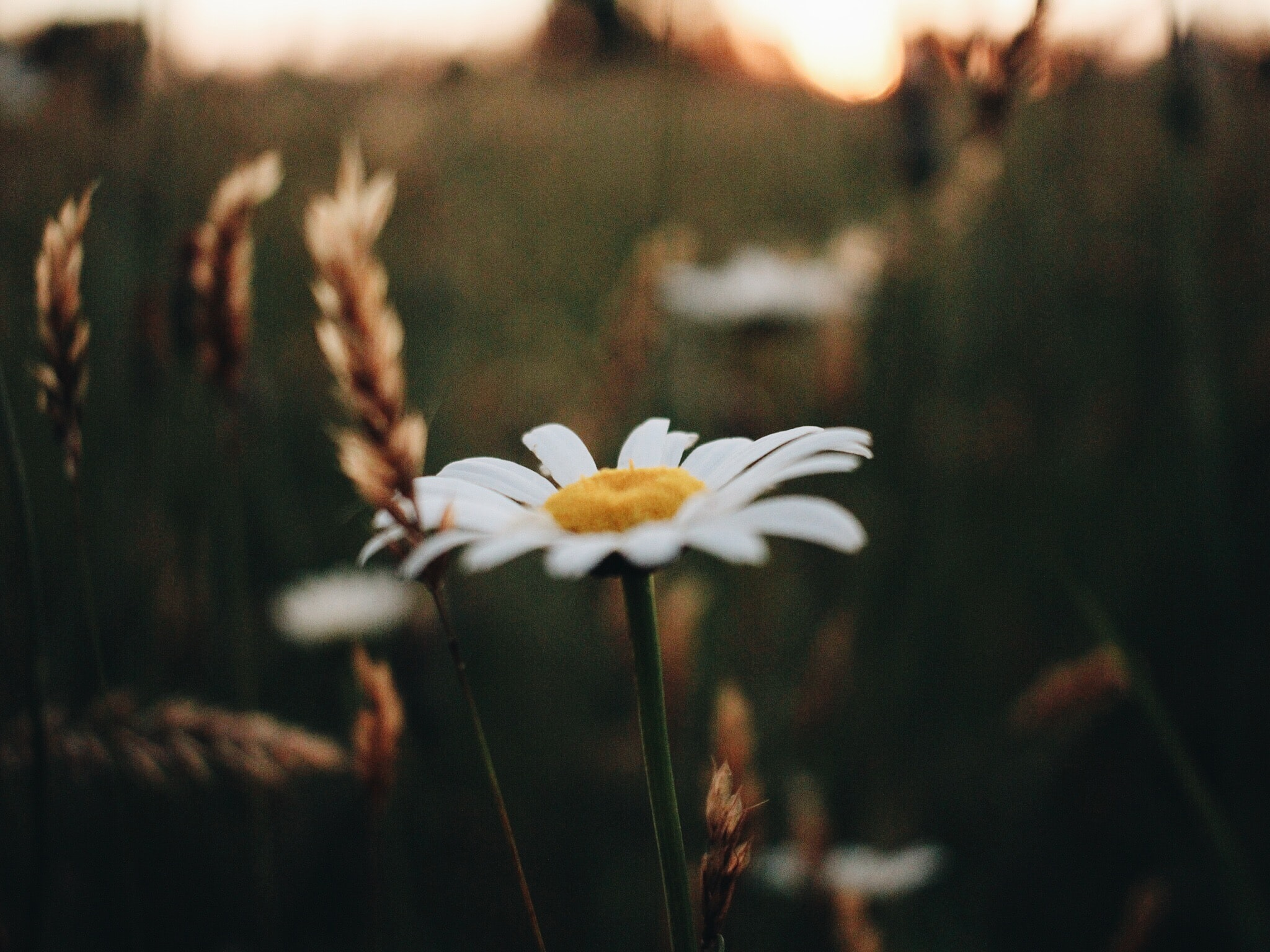 selective-focus photography of white Daisy flower