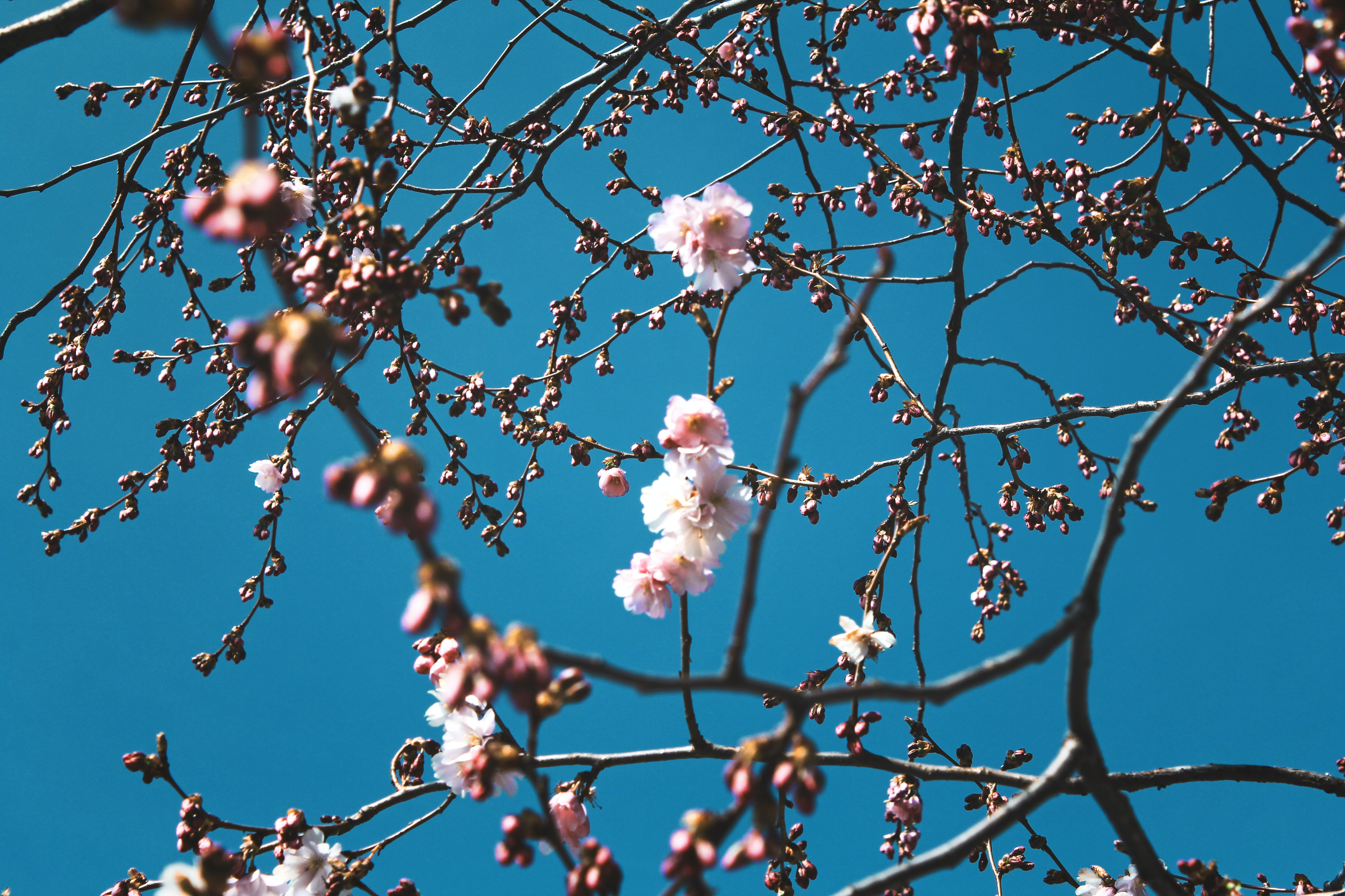 Tree branches from below with pink cherry blossom and clear blue sky in Spring, Neuchâtel