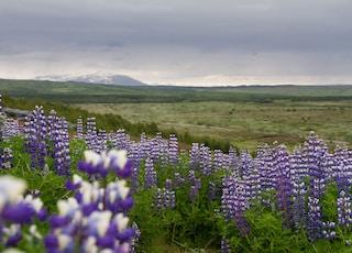 purple flower fields under white clouds during daytime