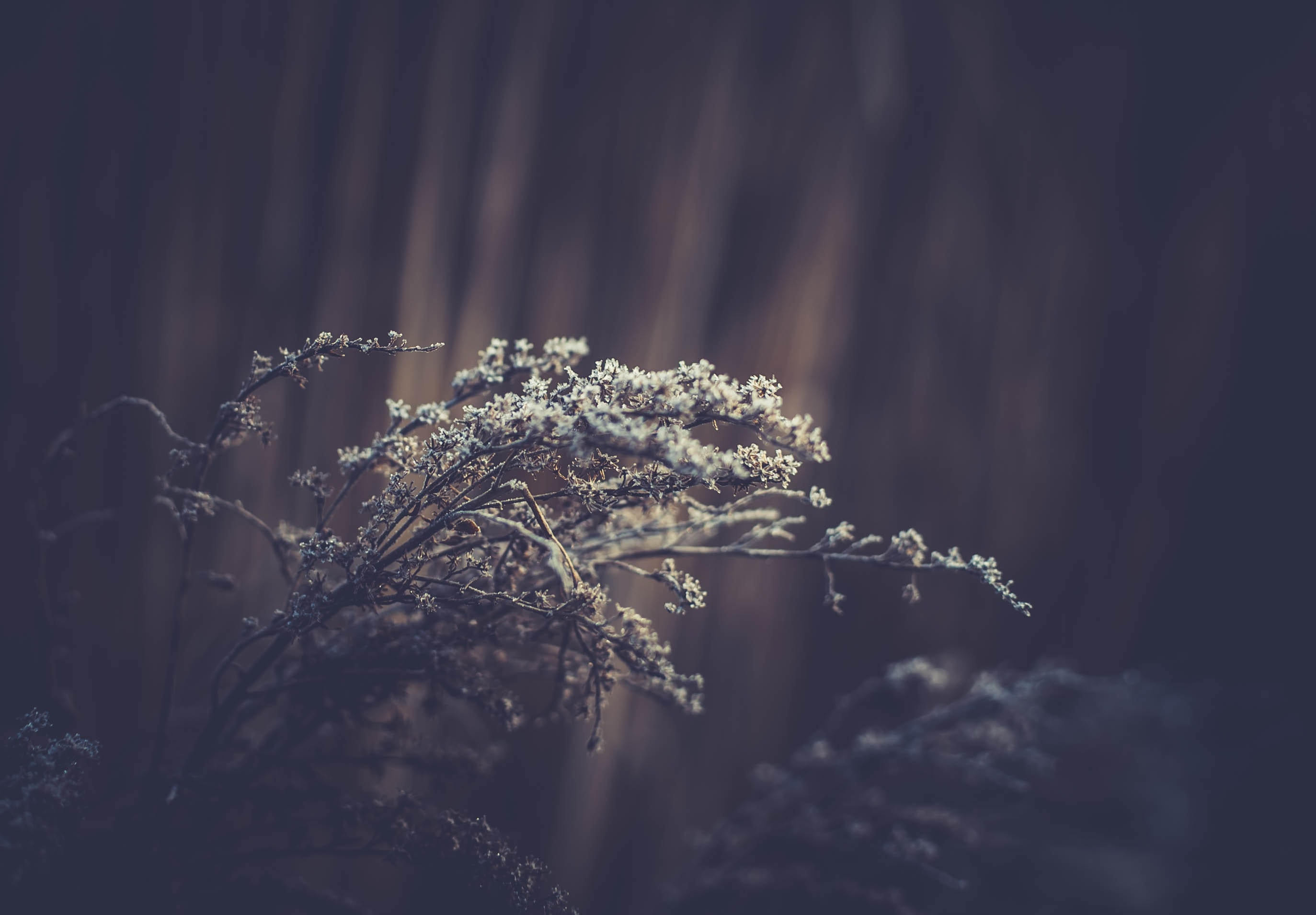 White-flowered branches of a shrub against a blurry dark background