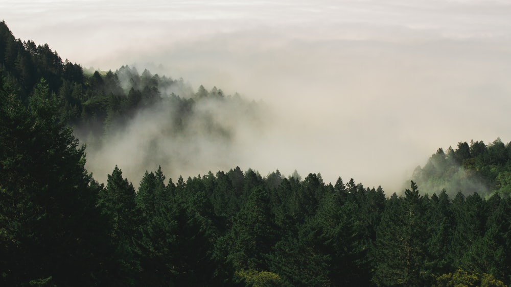 forest trees covered by fogs