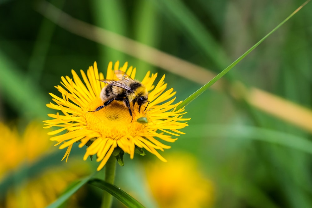 yellow and black bee on flower photo