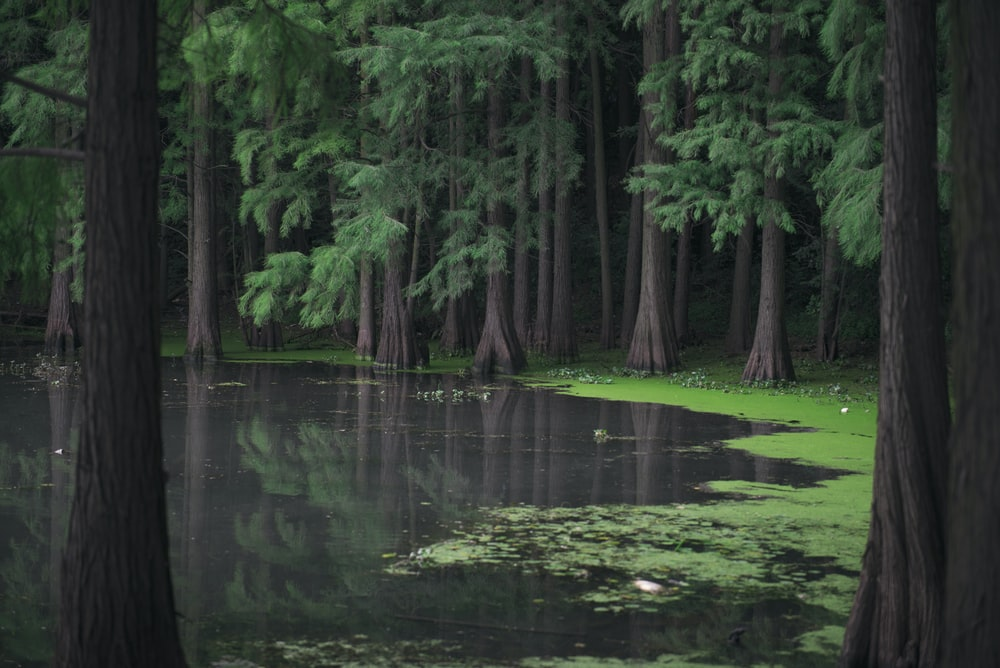 swamp surrounded with green pine trees during daytime