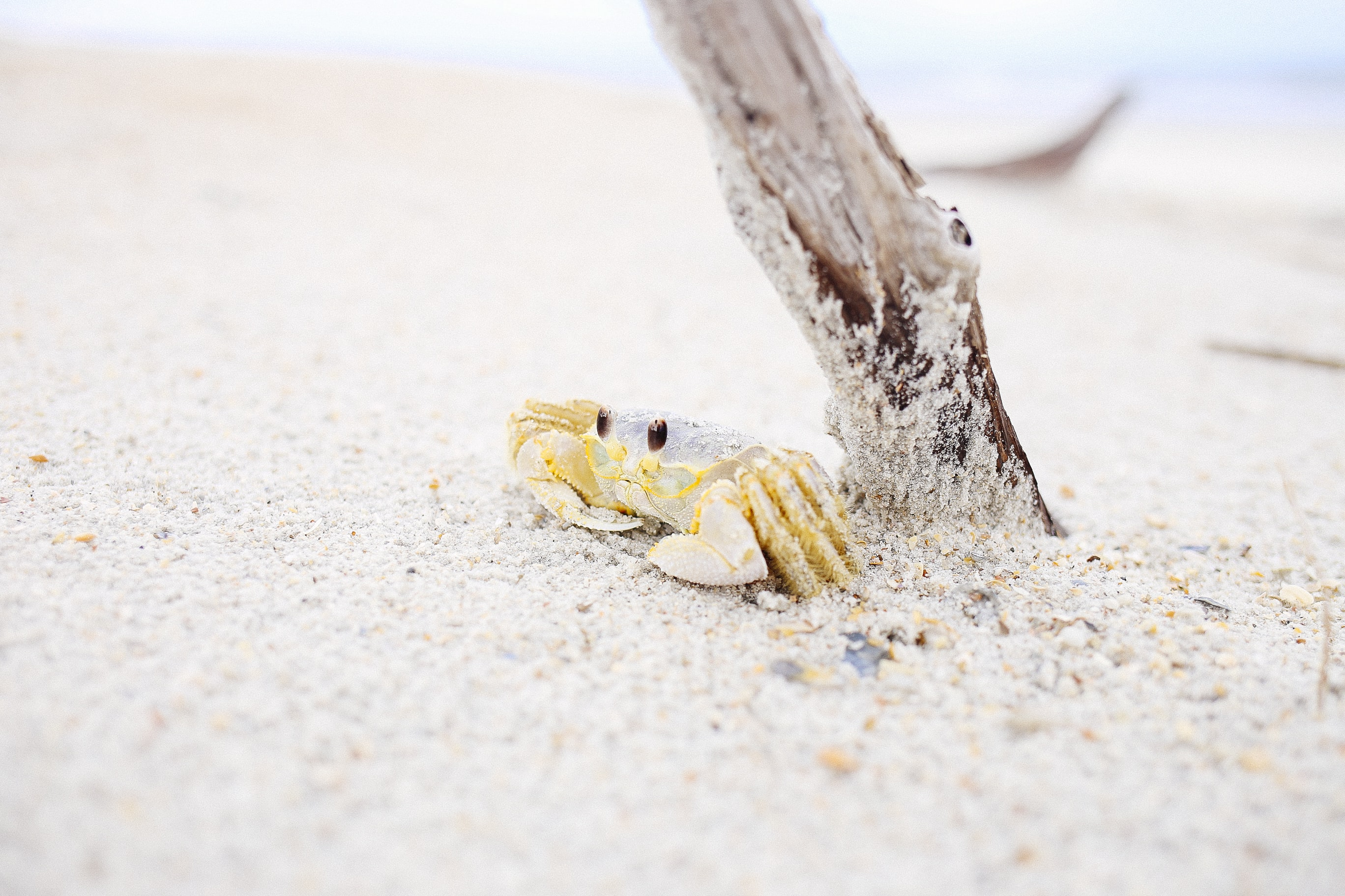 Small crab on the white sand beach by the driftwood
