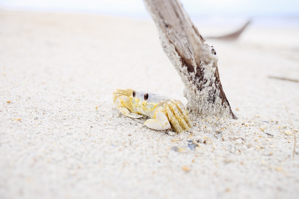 crab near wooden stick on sand