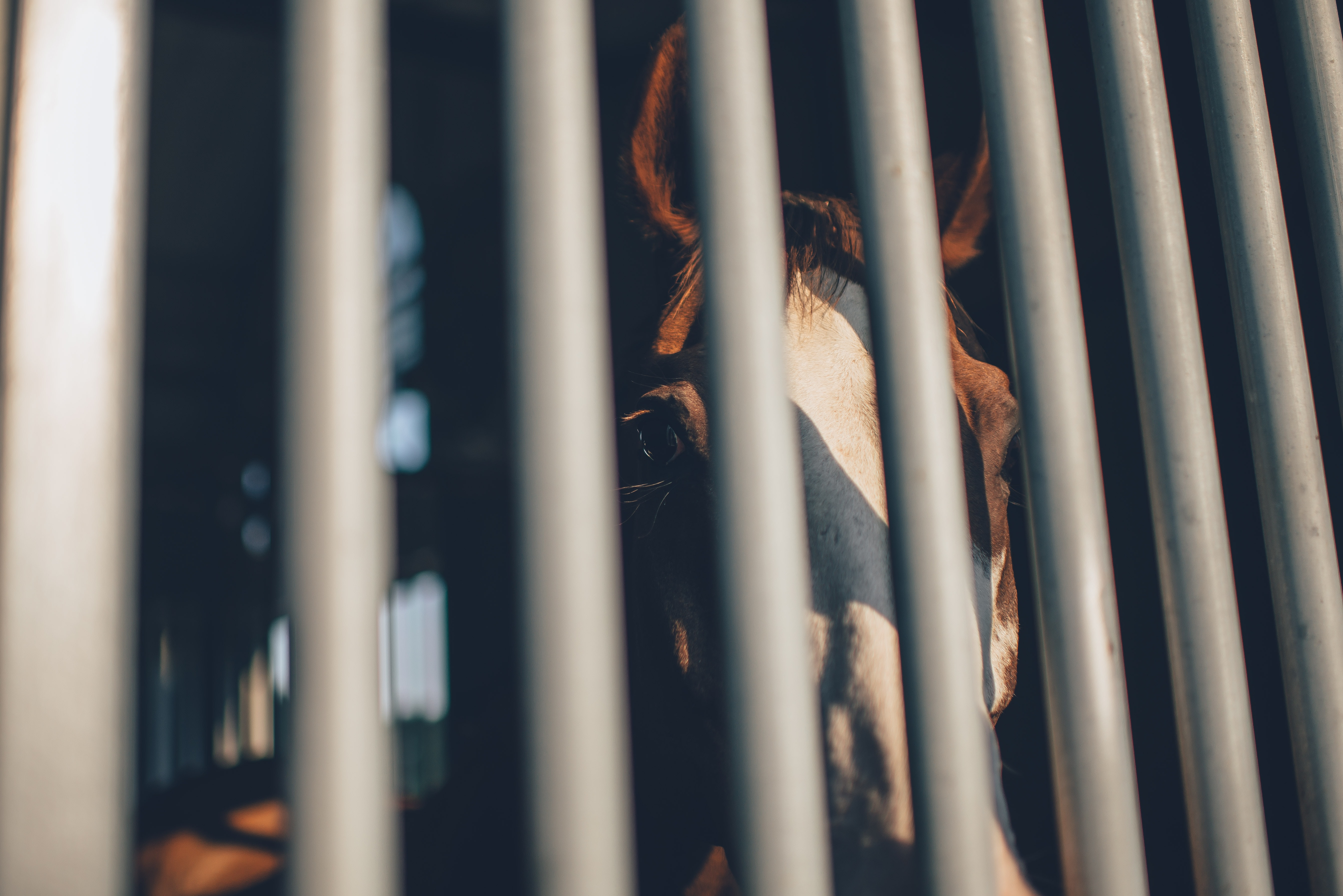 brown horse behind grey bars