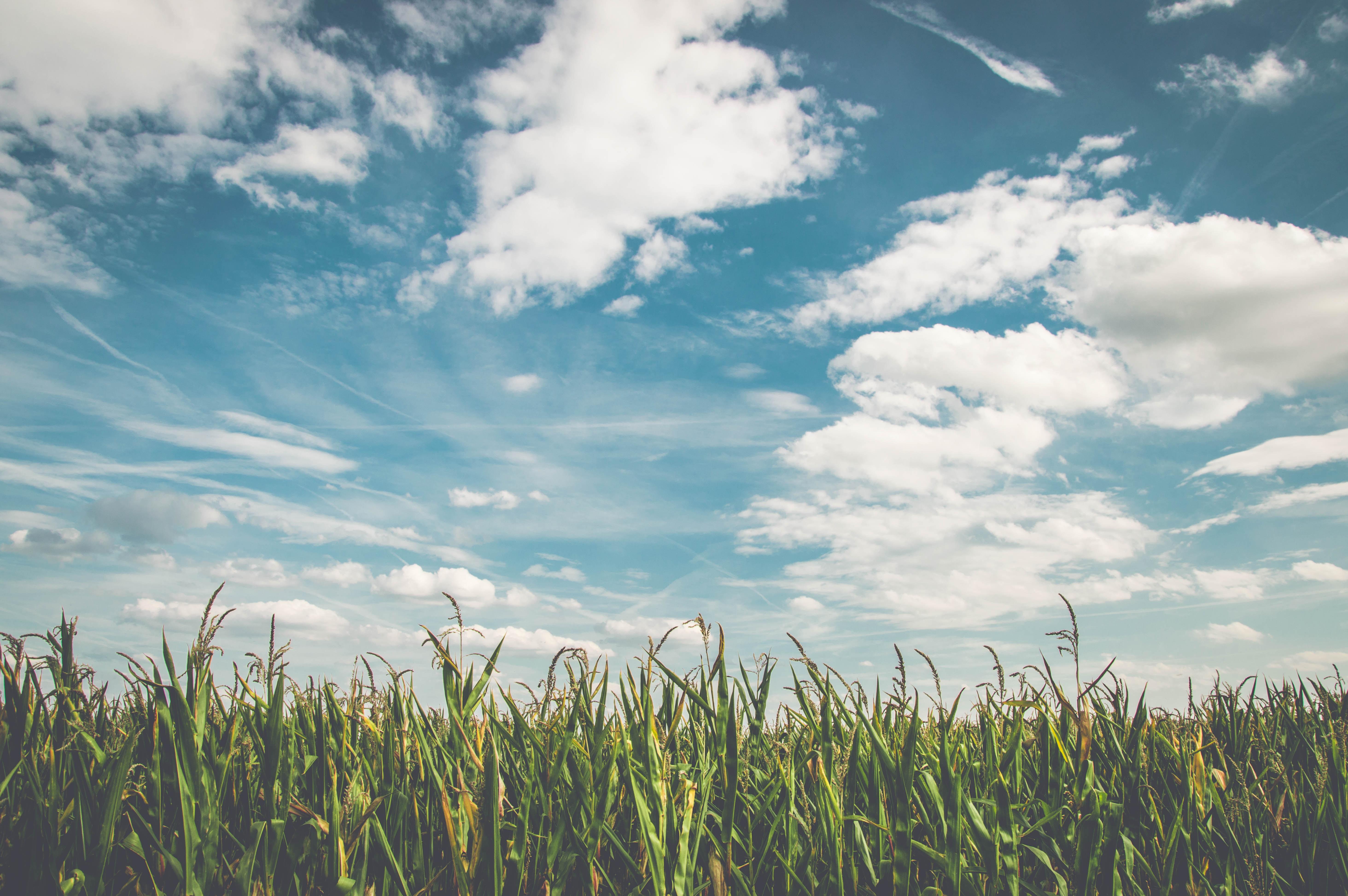 green cornfield under cloudy sky