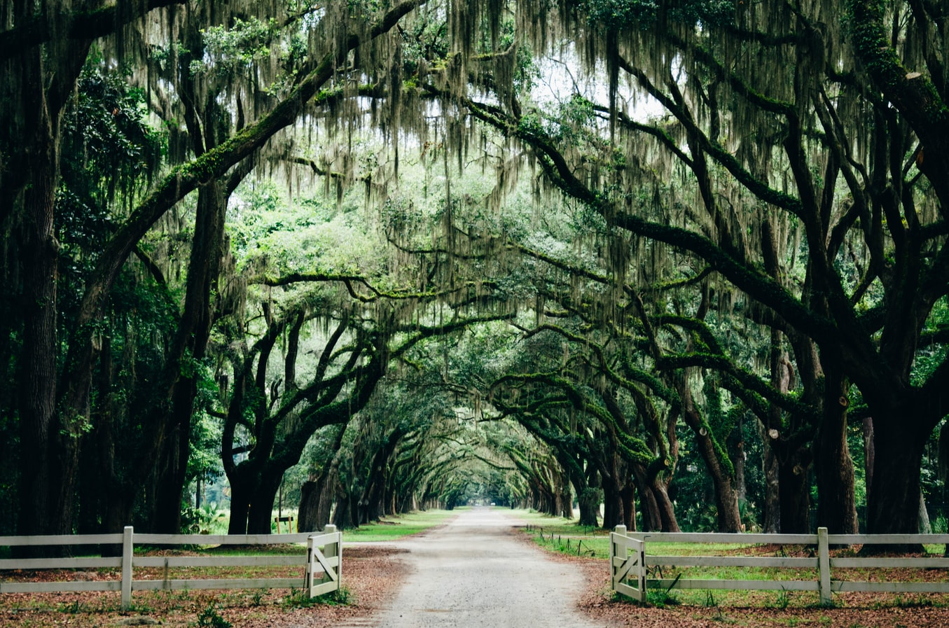 tall trees lean over a pathway in Savannah, Georgia