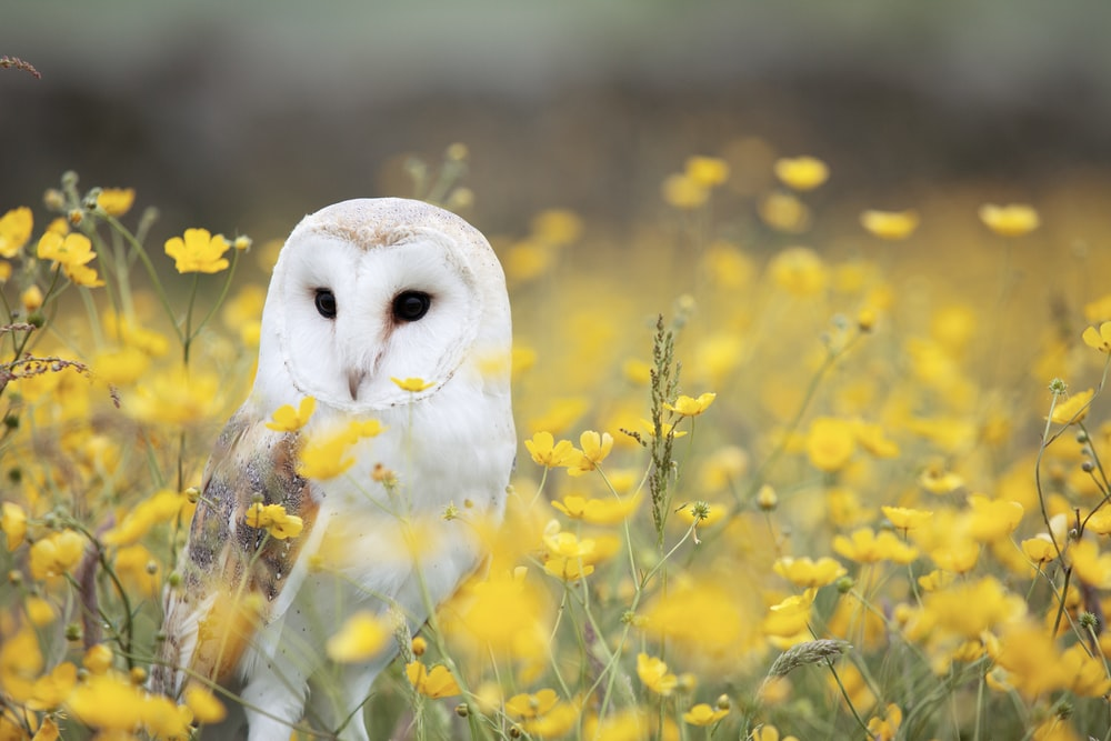 white and brown barn owl on yellow petaled flower field