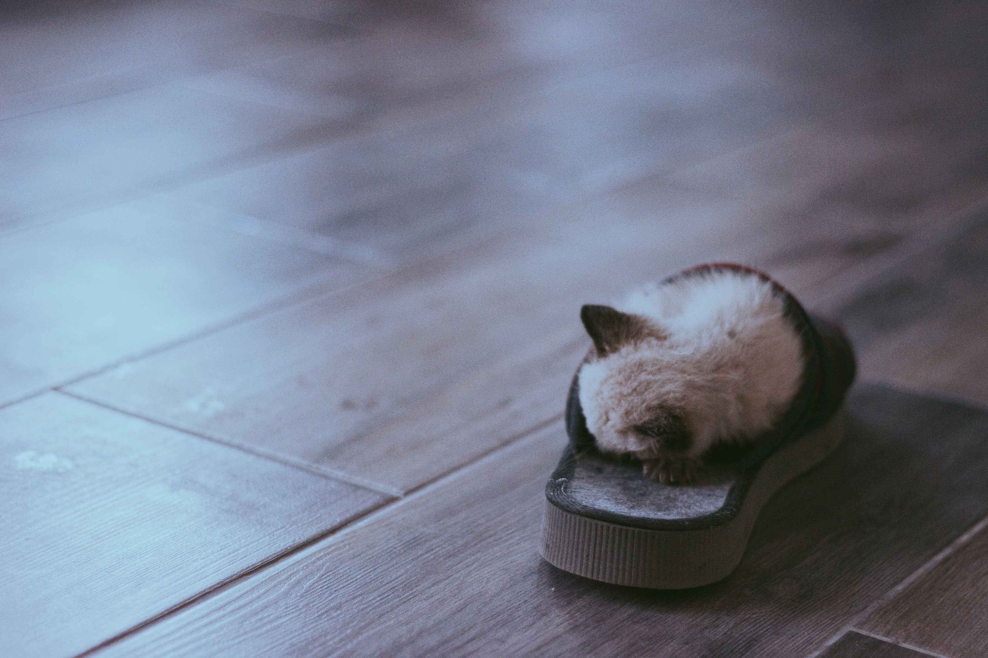 Kitten tucked inside a slipper on a wood floor