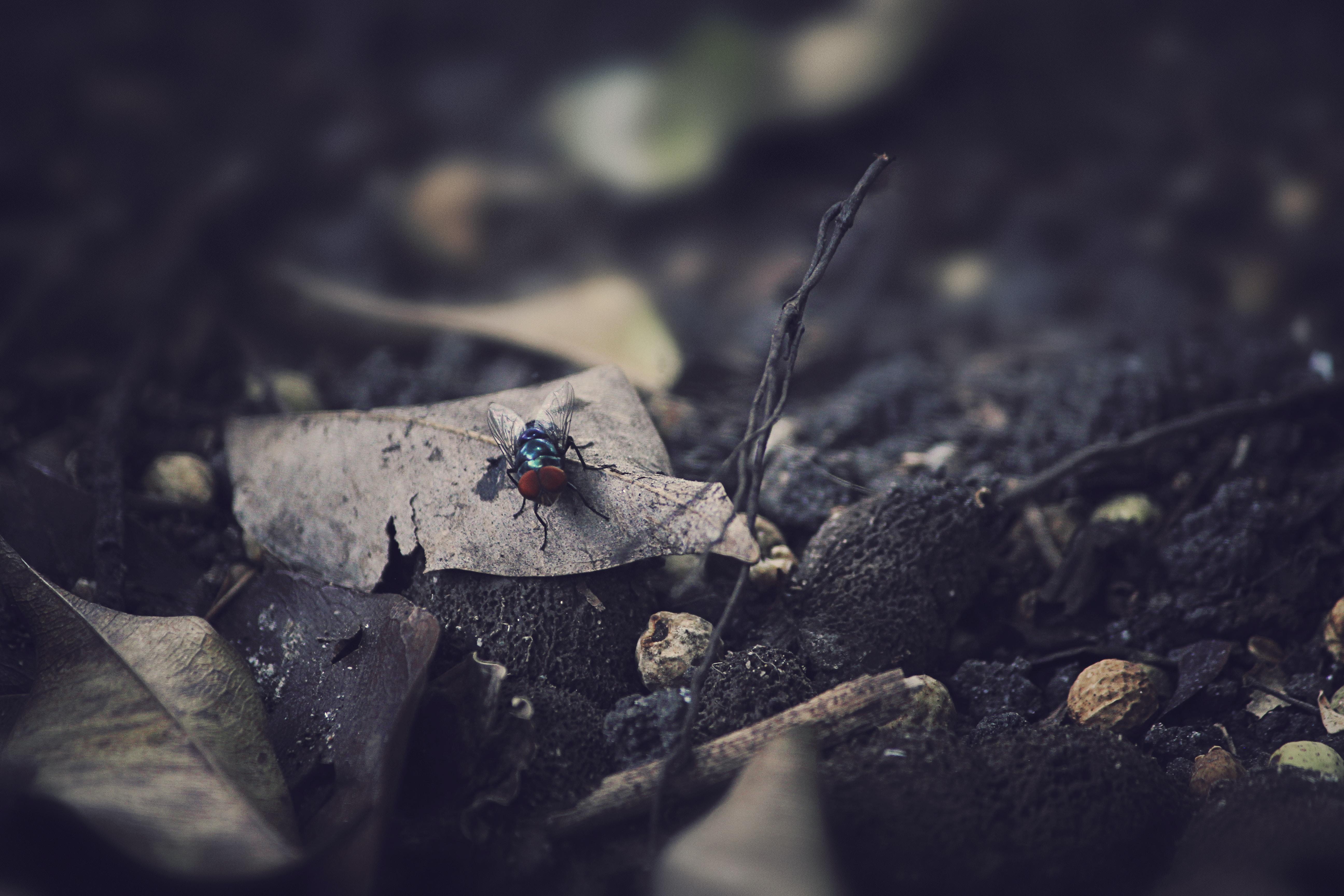 black fly on dried leaf