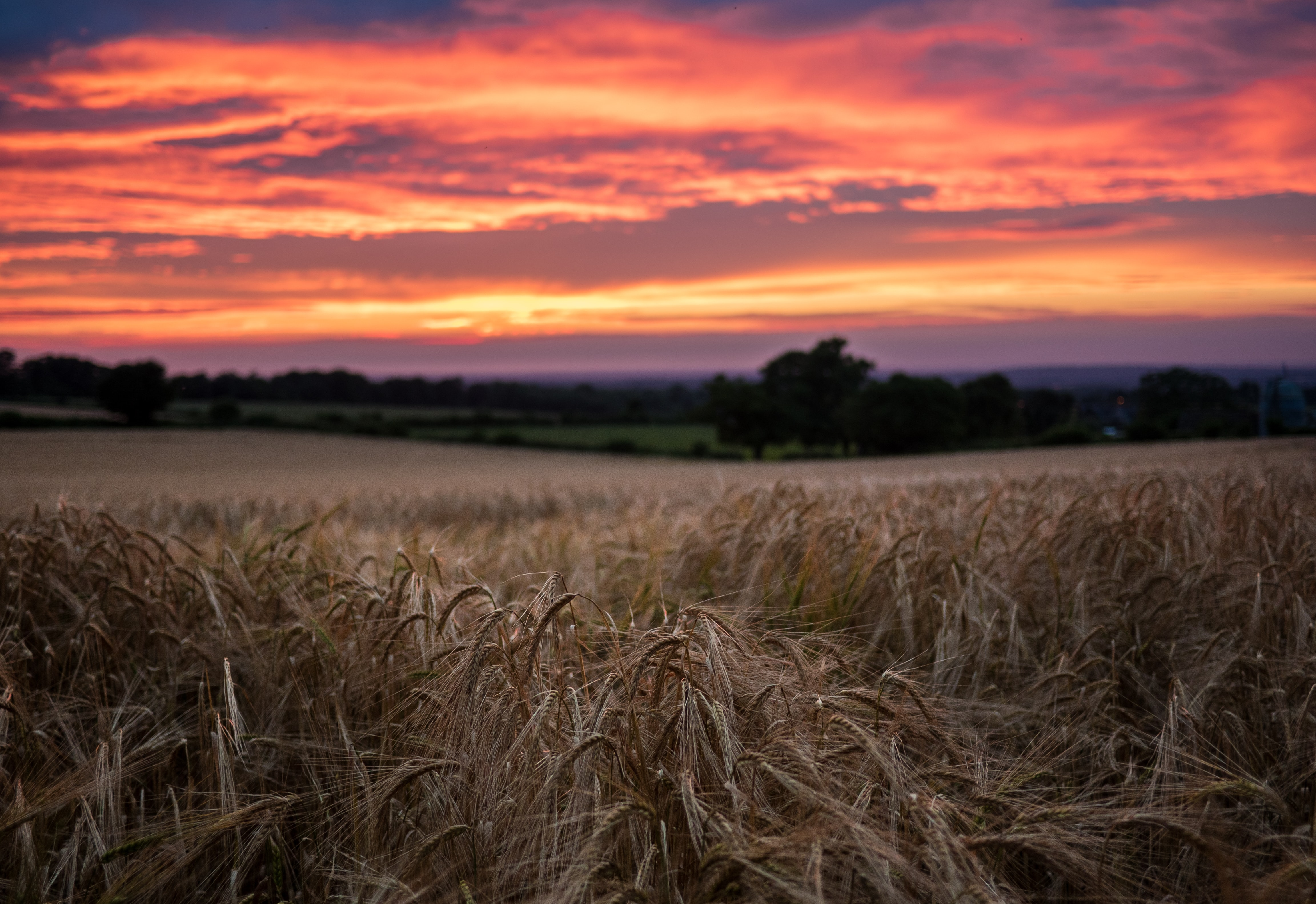 Wheat field in the countryside during sunset